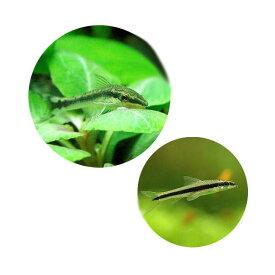 (熱帯魚)コケ対策セット 黒ヒゲゴケ&茶ゴケ対策用 オトシンクルス(6匹)+サイアミーズフライングフォックス(4匹) 北海道・九州航空便要保温