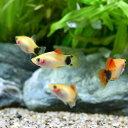 (熱帯魚)イエローミッキーマウスプラティ(12匹) 北海道・九州・沖縄航空便要保温