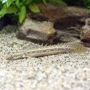 (熱帯魚)ポリプテルスsp.コリバ Sサイズ(ブリード)(1匹)