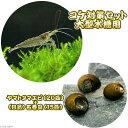 (エビ・貝)コケ対策セット 大型水槽用 ヤマトヌマエビ(20匹) +(B品)石巻貝(15匹)