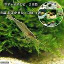 (エビ・貝)コケ対策セット 大型水槽用 ヤマトヌマエビ(20匹) +(B品)おまかせカノコ貝(4匹)