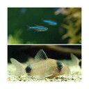 (熱帯魚)グリーンネオンテトラ(10匹) + コリドラス・パンダ(3匹) 北海道・九州・沖縄航空便要保温