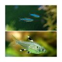 (熱帯魚)グリーンネオンテトラ(10匹) + プリステラ(6匹) 北海道・九州・沖縄航空便要保温