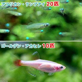(熱帯魚)アフリカン・ランプアイ Sサイズ(20匹) + ゴールデンアカヒレ(10匹) 北海道・九州航空便要保温