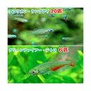 (熱帯魚)アフリカン・ランプアイ Sサイズ(20匹) + グリーンファイアー・テトラ(6匹) 北海道・九州・沖縄航空便要保温