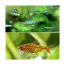 (熱帯魚)アフリカン・ランプアイ Sサイズ(20匹) + ファイアー・テトラ(12匹) 北海道・九州航空便要保温