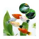 (熱帯魚)ミックスプラティ+ミックスバルーンモーリー(各4匹)