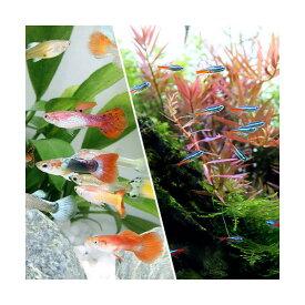 (熱帯魚)(水草)ビギナースタートセット ネオンテトラ(10匹)+国産ミックスグッピー(2ペア) 北海道航空便要保温