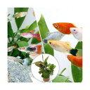 (熱帯魚 水草)ビギナースタートセット 外国産ミックスグッピー(3ペア)+ミックスプラティ(4匹)