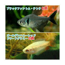 (熱帯魚)ゴールデンハニーレッド・ドワーフグラミー(3匹)+ブラックファントム・テトラ(6匹) 北海道・九州航空便要保温