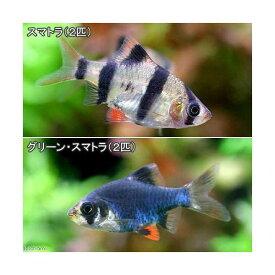 (熱帯魚)スマトラ(2匹)+グリーンスマトラ(2匹) 北海道・九州航空便要保温