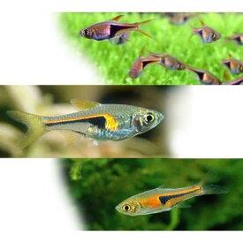 (熱帯魚)ラスボラ3種セット ヘテロモルファ+ヘンゲリー+エスペイ(各種3匹) 北海道航空便要保温