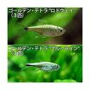 (熱帯魚)ゴールデン・テトラ2種セット 北海道・九州・沖縄航空便要保温