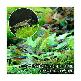 (熱帯魚)カージナルテトラ(ワイルド)(10匹) +ヤマトヌマエビ(3匹) 北海道・九州航空便要保温