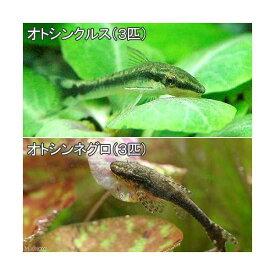 (熱帯魚)オトシンクルス(3匹) + オトシンネグロ(3匹) 北海道・九州航空便要保温