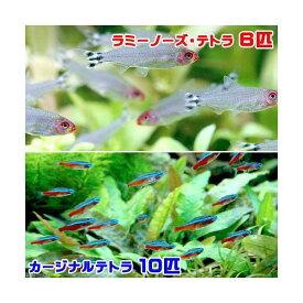(熱帯魚)ラミーノーズ・テトラ(ブリード)(6匹) +カージナルテトラ(ワイルド)(10匹) 北海道・九州航空便要保温