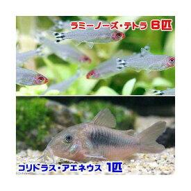 (熱帯魚)ラミーノーズ・テトラ(ブリード)(6匹) + コリドラス・アエネウス(1匹) 北海道・九州航空便要保温