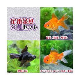 (国産金魚)定番金魚3種セット(各1匹)