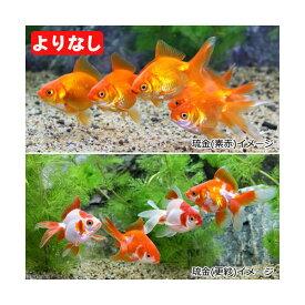 (国産金魚)よりなし(無選別)琉金(リュウキン)素赤〜更紗(3匹)