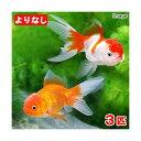 (国産金魚)よりなし(無選別) オランダ獅子頭/オランダシシガシラ 素赤〜更紗(3匹)