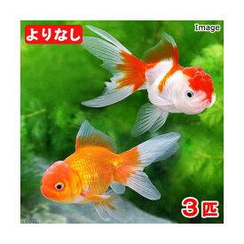 (国産金魚)よりなし(無選別)オランダ獅子頭 素赤〜更紗(3匹)