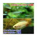 (熱帯魚)アフリカン・ランプアイ(10匹) + ゴールデンハニーレッド・ドワーフグラミー(2匹) 北海道・九州・沖縄航空便要保温