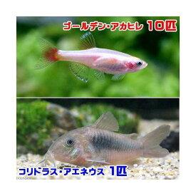 (熱帯魚)ゴールデンアカヒレ(10匹) + コリドラス・アエネウス(1匹) 北海道・九州航空便要保温