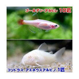 (熱帯魚)ゴールデンアカヒレ(10匹) + コリドラス・アエネウスアルビノ(1匹) 北海道・九州航空便要保温