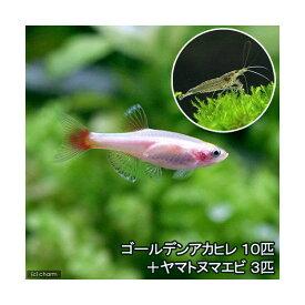 (熱帯魚)ゴールデンアカヒレ(10匹) + ヤマトヌマエビ(3匹) 北海道・九州航空便要保温