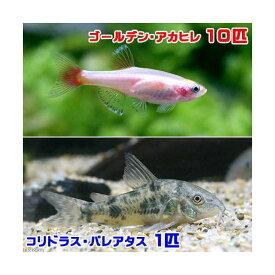 (熱帯魚)ゴールデンアカヒレ(10匹) + コリドラス・パレアタス(1匹) 北海道・九州航空便要保温