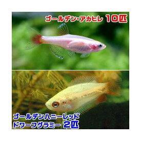 (熱帯魚)ゴールデンアカヒレ(10匹) + ゴールデンハニーレッド・ドワーフグラミー(2匹) 北海道・九州航空便要保温