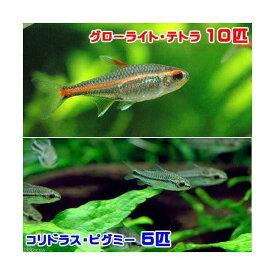 (熱帯魚)グローライト・テトラ(10匹) + コリドラス・ピグミー(5匹) 北海道・九州航空便要保温