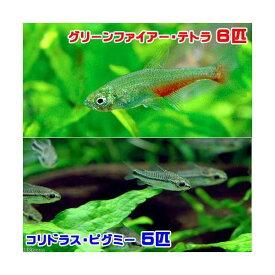 (熱帯魚)グリーンファイアー・テトラ(6匹) + コリドラス・ピグミー(5匹) 北海道・九州航空便要保温