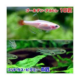 (熱帯魚)ゴールデンアカヒレ(10匹) + コリドラス・ピグミー(5匹) 北海道・九州航空便要保温