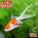 (国産金魚)よりなし(無選別) コメット 赤系〜更紗(5匹)