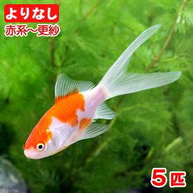 (国産金魚)よりなし(無選別)コメット 赤系〜更紗(5匹)
