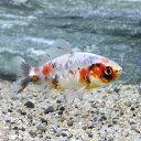 (国産金魚)メタリックキャリコ和金(1匹)