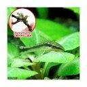 (熱帯魚 水草)オトシンクルス(3匹) + おまかせブセファランドラ1株付きミニ流木(無農薬)(1個) 北海道・…