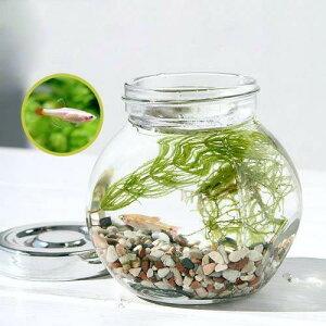 (熱帯魚)私の小さなアクアリウムゴールデン・アカヒレボトルセット〜マツモとウィローモス〜(1セット)説明書付本州・四国限定