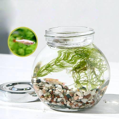 (熱帯魚)(水草)私の小さなアクアリウム ゴールデンアカヒレボトルセット 〜マツモとウィローモス〜(1セット)説明書付 本州・四国限定
