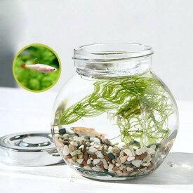 (熱帯魚)(水草)私の小さなアクアリウム ゴールデンアカヒレボトルセット 〜マツモとウィローモス〜(1セット)説明書付 本州四国限定