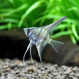 (熱帯魚)スカラレ・エンゼルフィッシュ ペルー Sサイズ(ワイルド)(1匹) 北海道・九州航空便要保温
