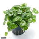 (水草)ミニマッシュルーム(トロピカポット)(無農薬)(1ポット分)