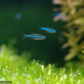 (熱帯魚)グリーンネオンテトラ(ワイルド)(10匹) 北海道・九州航空便要保温