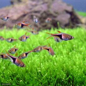(熱帯魚)ラスボラ・ヘテロモルファ(6匹) 北海道・九州航空便要保温