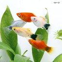 (熱帯魚)ミックスプラティ(12匹) 北海道・九州航空便要保温