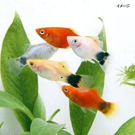 (熱帯魚)ミックスプラティ(12匹) 北海道航空便要保温