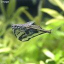 (熱帯魚)マーブル・ハチェット(4匹) 北海道・九州・沖縄航空便要保温