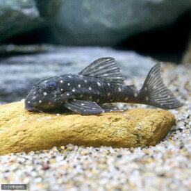 (熱帯魚)イエロースポットスター・クラウンプレコ(ワイルド)(1匹) 北海道・九州航空便要保温