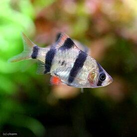 (熱帯魚)スマトラ(6匹) 北海道・九州航空便要保温